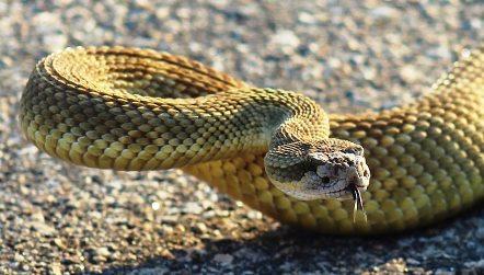 rattlesnake plague